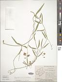 view Oxystelma secamone K. Schum. digital asset number 1