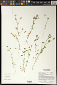 view Trifolium bifidum var. decipiens Greene digital asset number 1