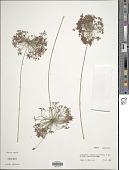 view Cyperus prolifer Lam. digital asset number 1