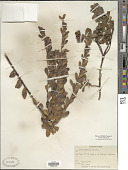 view Arctostaphylos uva-ursi (L.) Spreng. digital asset number 1