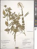 view Cleome latifolia Vahl ex DC. digital asset number 1