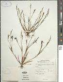 view Sisyrinchium iridifolium H.B.K. digital asset number 1