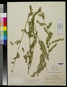 view Aeschynomene petraea var. grandiflora Rudd digital asset number 1