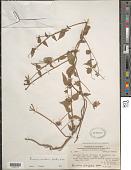 view Pavonia mutisii Kunth in H.B.K. digital asset number 1
