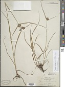view Cyperus echinatus (L.) Alph. Wood digital asset number 1