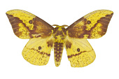view Imperial Moth digital asset number 1