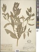 view Apocynum salignum Greene digital asset number 1