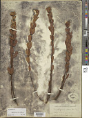 view Hypericum crux-andreae (L.) Crantz digital asset number 1