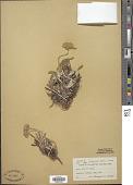 view Eriogonum sp. digital asset number 1