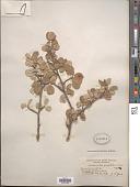 view Amelanchier oreophila A. Nelson digital asset number 1