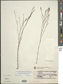 view Sisyrinchium vaginatum Spreng. digital asset number 1