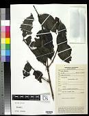 view Pternandra caerulescens Jack digital asset number 1