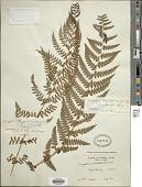 view Dryopteris chrysocoma (Christ) C. Chr. digital asset number 1