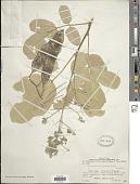 view Lonchocarpus capassa Rolfe digital asset number 1