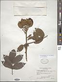 view Spathodea campanulata P. Beauv. subsp. campanulata digital asset number 1