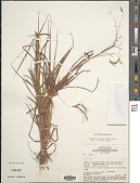 view Hyparrhenia rufa (Nees) Stapf digital asset number 1
