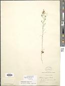 view Stephanomeria exigua subsp. exigua Nutt. digital asset number 1