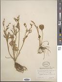 view Ranunculus inamoenus Greene digital asset number 1