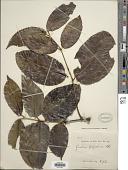 view Gnetum latifolium Blume digital asset number 1