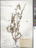 view Schinus fasciculatus digital asset number 1