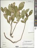 view Lyonia mariana (L.) D. Don digital asset number 1