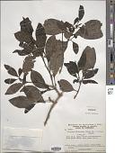 view Guapira olfersiana (Link et al.) Lundell digital asset number 1