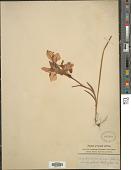view Gladiolus alatus digital asset number 1