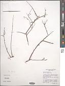view Krameria erecta Willd. ex Schult. digital asset number 1