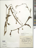 view Emilia sonchifolia var. javanica (Burm. f.) Mattf. digital asset number 1