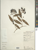 view Geitonoplesium cymosum (R. Br.) A. Cunn. ex Hook. digital asset number 1