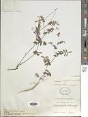 view Tephrosia hispidula (Michx.) Pers. digital asset number 1