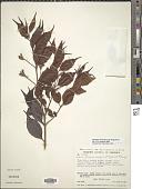 view Calycolpus moritzianus (O. Berg) Burret digital asset number 1