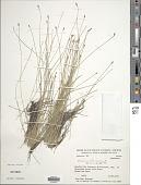 view Eleocharis filiculmis Kunth digital asset number 1