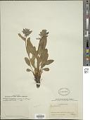 view Mertensia oblongifolia (Nutt.) G. Don digital asset number 1