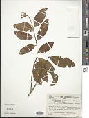 view Diclidanthera bolivarensis Pittier digital asset number 1