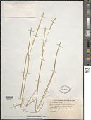 view Thinopyrum podperae (Nabelek) D.R. Dewey digital asset number 1