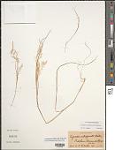 view Lachnagrostis filiformis (J.R. Forst.) Trin. digital asset number 1
