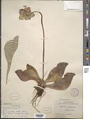view Sarracenia purpurea L. digital asset number 1