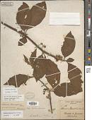 view Solanum volubile Sw. digital asset number 1