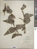 view Oryctanthus cordifolius (C. Presl) Urb. digital asset number 1