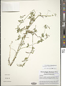 view Ornithopus compressus L. digital asset number 1