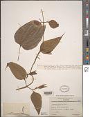 view Stemona tuberosa Lour. digital asset number 1