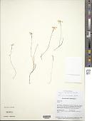 view Voyria spruceana Benth. digital asset number 1