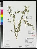 view Euphorbia hyssopifolia var. pubescenticocca Christenh. digital asset number 1