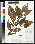 view Tacca leontopetaloides (L.) Kuntze digital asset number 1