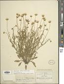 view Aphanostephus riddellii Torr. & A. Gray digital asset number 1
