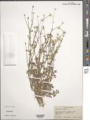 view Ranunculus bulbosus L. digital asset number 1