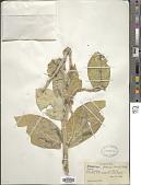 view Calotropis procera (Aiton) W.T. Aiton digital asset number 1