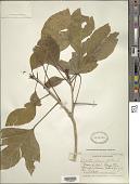 view Dendropanax arboreus (L.) Decne. & Planch. digital asset number 1