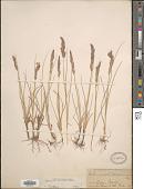 view Calamagrostis montanensis Scribn. ex Vasey digital asset number 1